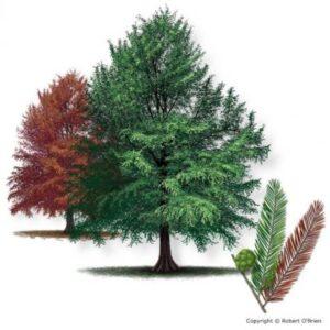 image of baldcypress tree