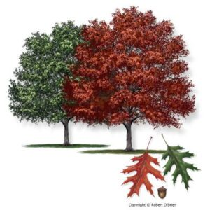 image of oak shumard tree