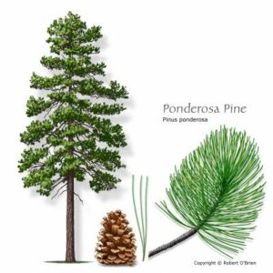 image of Pine Ponderosa tree