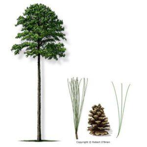 image of Pine Loblolly tree
