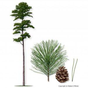 image of Pine Shortleaf tree