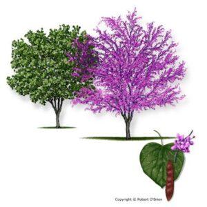 image of Redbud Eastern tree