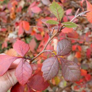 image of aromatica foliage